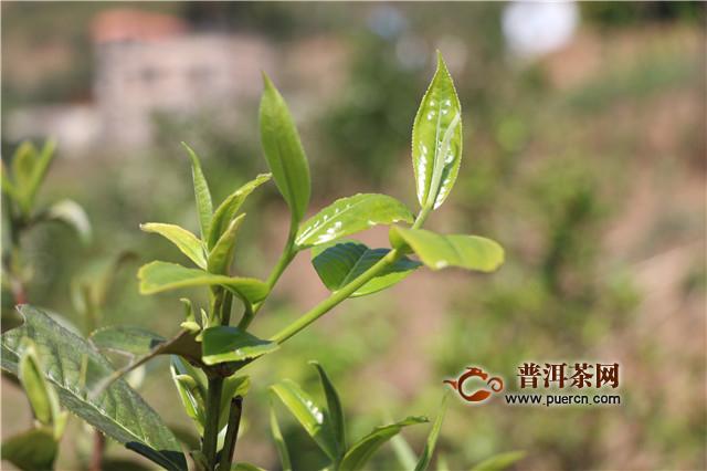 疫情下云南采取多个措施保证茶产业发展