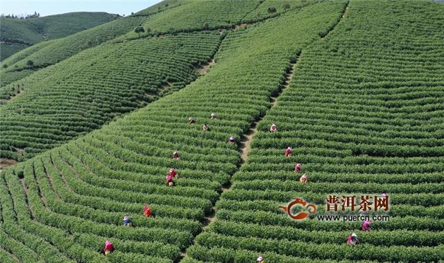 浙江湖州:18000亩茶园忙着采茶