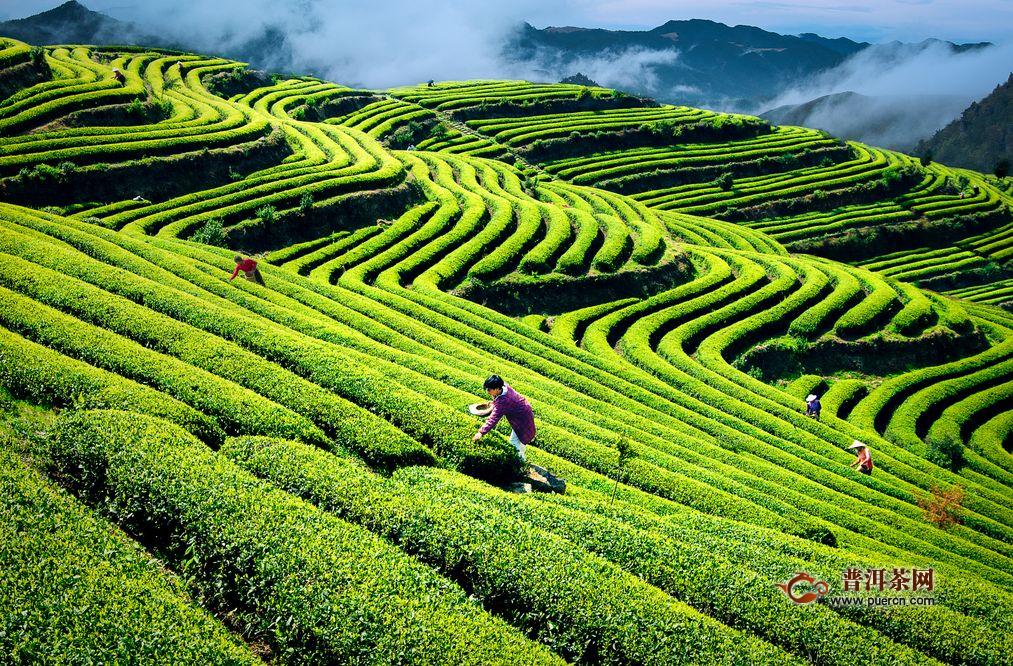 共饮温州早茶,助力温州市茶产业
