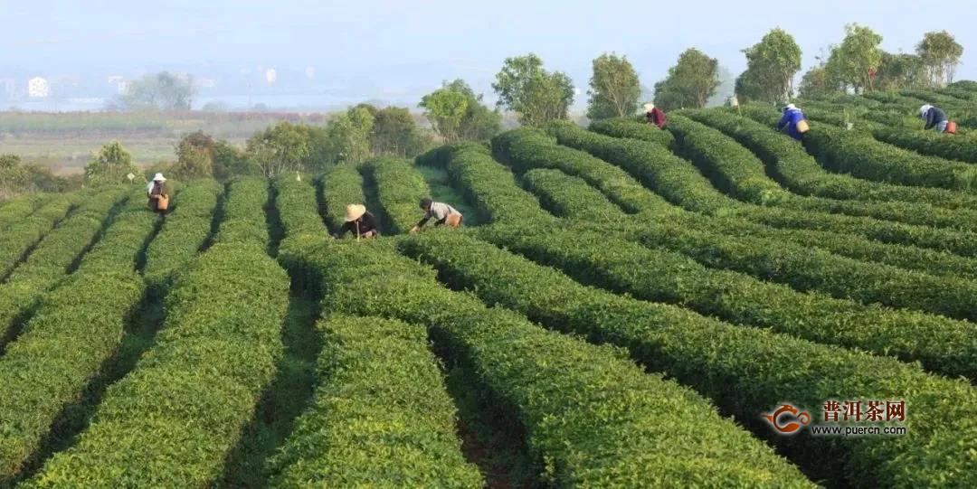武义更香有机茶打造文旅式科普打卡地