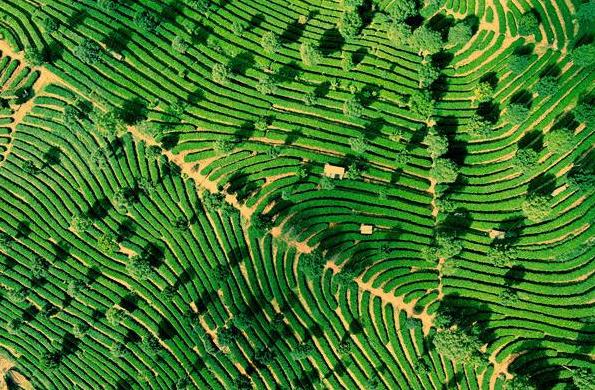 云南思茅有机茶产业呈现强劲生命力