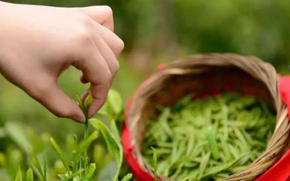 商洛茶叶采摘期比往年提前