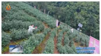 """达州大竹白茶开采 手机成了新""""农具"""""""