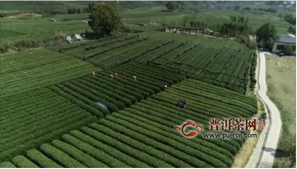 西湖龙井茶全面开采,专车、无人机齐上阵!今年茶叶品质更好!