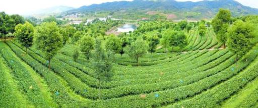普洱市:逐绿而行 推进茶产业有机化发展