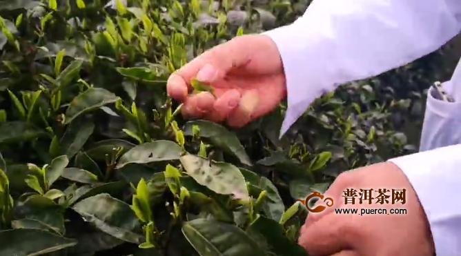 双手采茶已成为贵州美丽茶山的标配