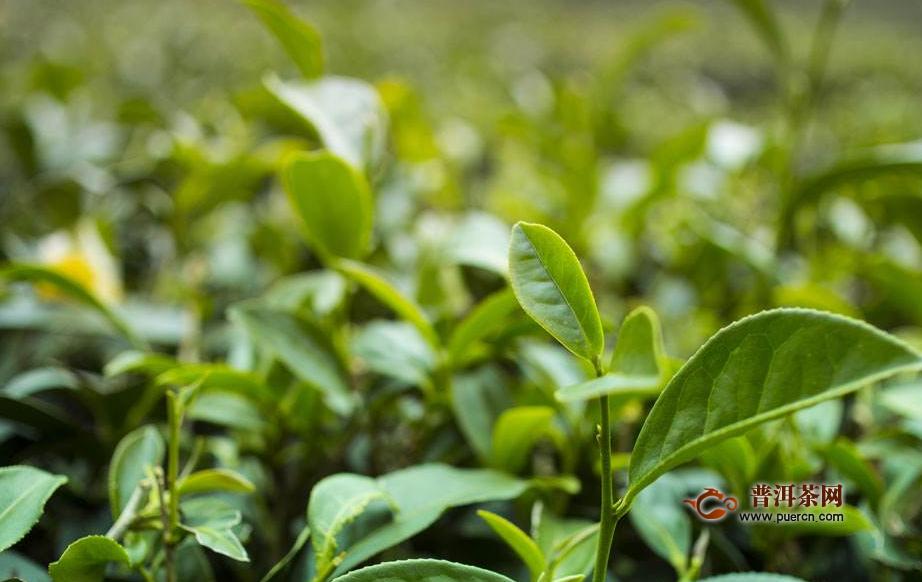 什么地方产龙井茶