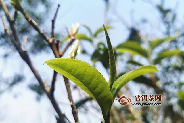 兴海茶:普洱茶山那么多,为何称王就一座?