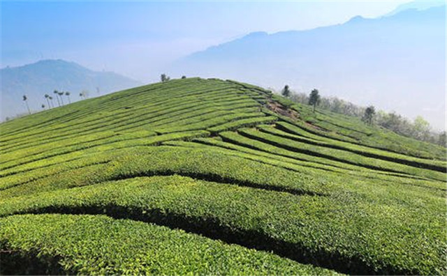湖北多措并举促进茶叶产销对接