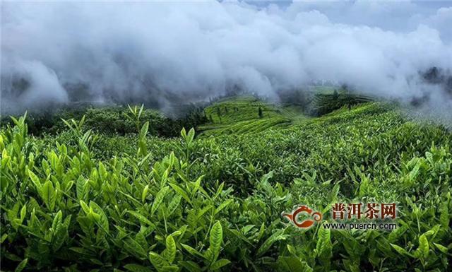 云南永德:忙肺万亩茶园开采