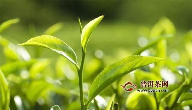 铁观音茶树品种,被称为 红心歪尾桃