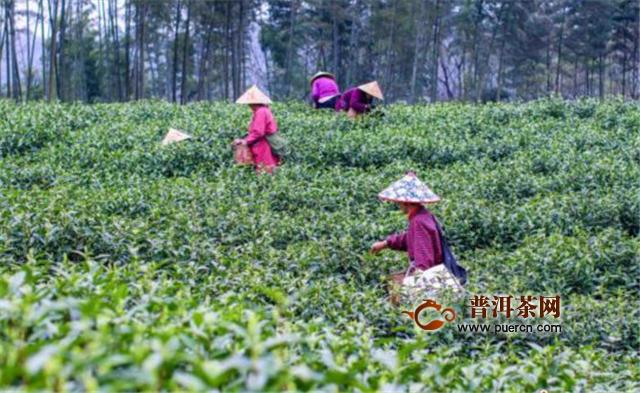 安徽铜陵:春茶采摘正当时