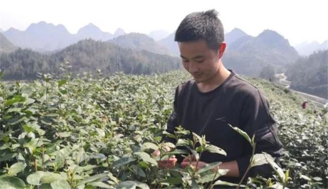 郑昕杰:中专毕业回家种茶 让家乡茶叶重焕生机
