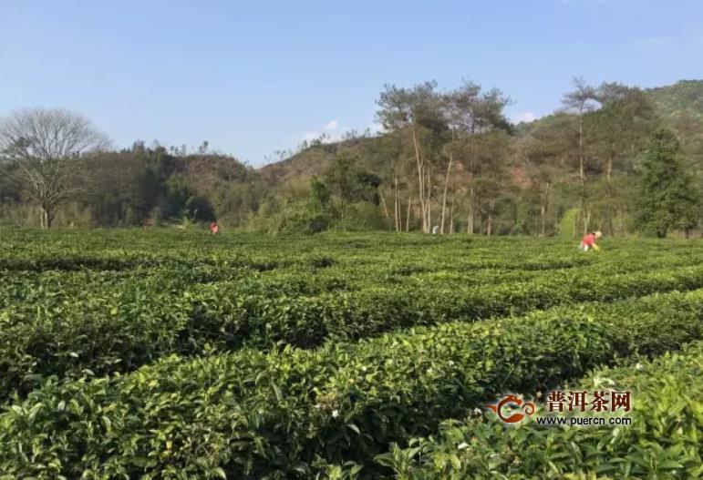 祁门红茶是哪个省的?安徽是祁红的原产地