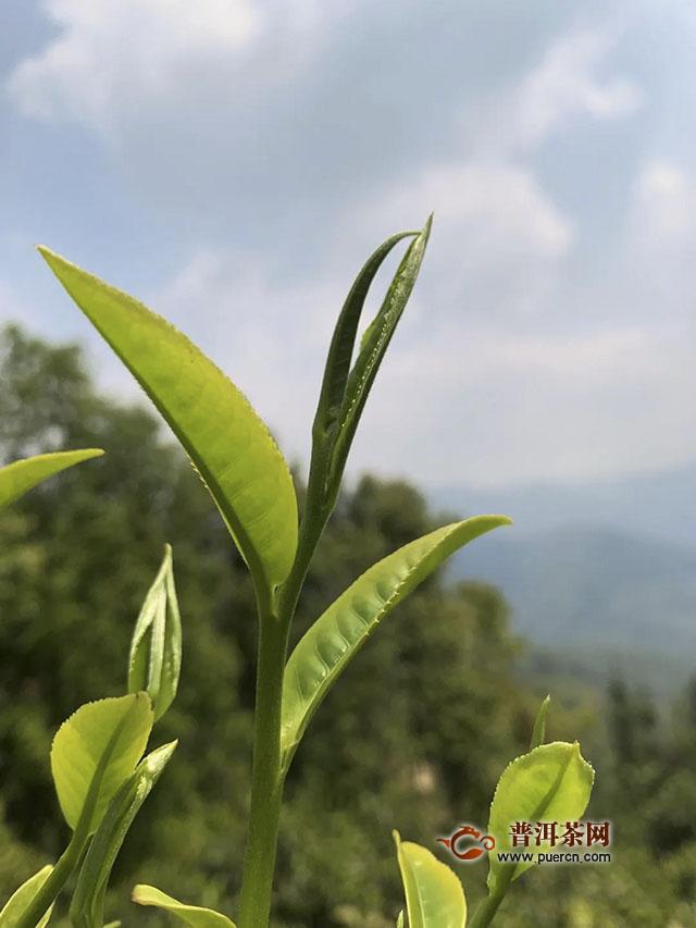 茶煎春色:德凤茶业2020官寨春茶季正式开采