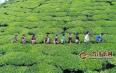 埋在土里的茶叶,你见过吗?