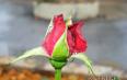 金边玫瑰580一斤贵吗