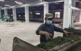 勐省农场春茶生产稳步推进