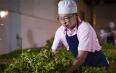 巿场观察 2020年云南春茶的挑战与机遇