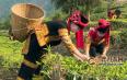 云南绿春:23.8万亩茶园长势喜人 哈尼人民采茶忙