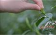 上市当天增长74.3%,竹叶青何以成为2020年春茶爆品?