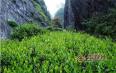 福建岩茶属于绿茶还是乌龙茶