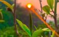 【图阅】云南各地茶树发芽不一,大量采摘延后