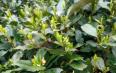 连线茶山 西湖龙井本周日开采,茶商整天泡在茶山上