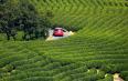 2020年安吉白茶开采日定了!