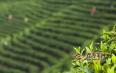 疫情过后,2020年茶叶价格会涨?