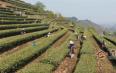 【图阅】墨江千亩茶园进入采摘季 茶园飘香美不胜收