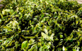 """云南西盟茶产业""""有机""""发展"""