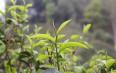 落水洞,生态古茶第一村