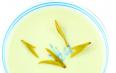 君山银针是什么茶树种