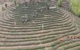 文山广南20万亩春茶预计实现产值2亿元