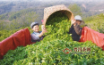 云南明前茶批量上市 大宗红绿茶鲜叶价格小幅下跌