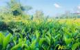 郭文杰:村民致富茶满园