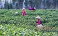 安徽铜陵:白茶采摘正当时