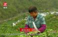 黄山毛峰开园采摘,新茶量增品质优