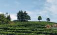 老包说茶:有机茶的快速发展