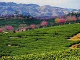 松阳将举办第十三届中国(国际)茶商大会·松阳香茶网络茶叶节
