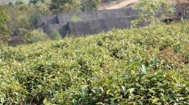 云南勐海:加强农药监管 规范普洱茶市场经营秩序