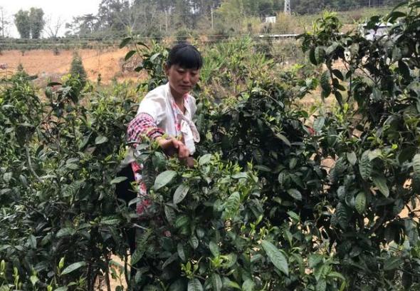 乡亲抱团创大业,山里的古树茶帮助建档户脱贫