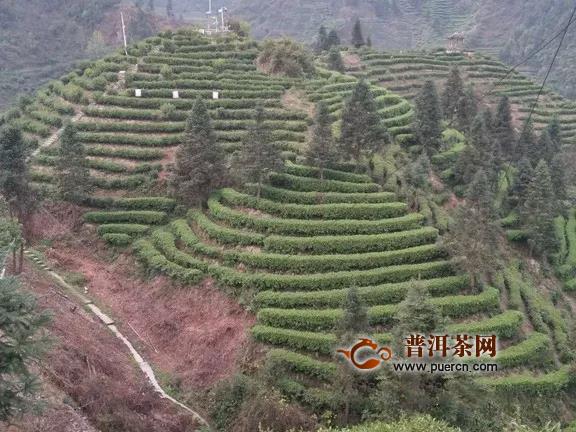 """湖南产业发展看湘西,黄金茶与""""黄金时代"""""""