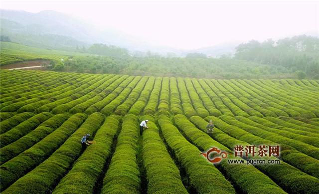 贵州省茶叶生产将保持稳定增长态势