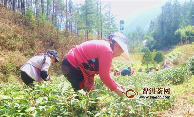 重庆城口:东风时节茶飘香 茶农春陌采茶忙