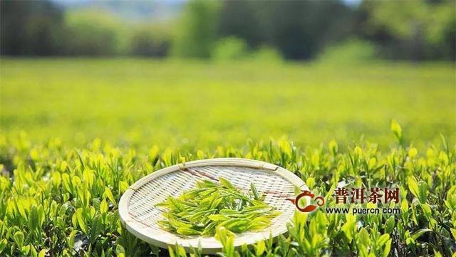 三招教你辨别老枞茶叶和新枞茶叶