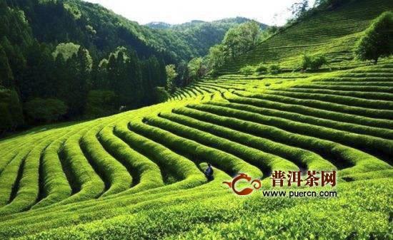 高山云雾茶属于绿茶吗?