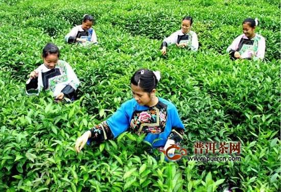 高山绿茶是哪里产的