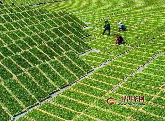 绿茶分为哪几种?